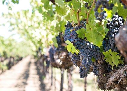 Oenotour, wine tours, découverte des vins du Languedoc