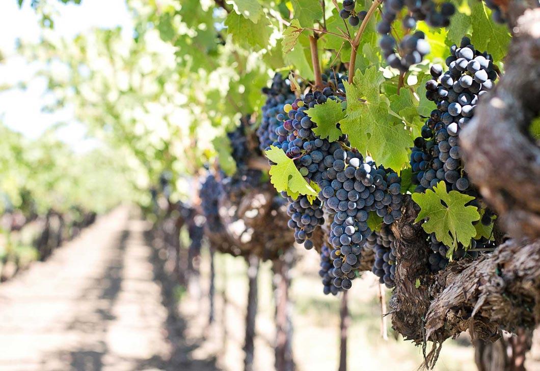 Vins Hérault, domaine viticole autour de Vias, raisins, vins blancs, rouge, rosé
